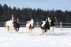 Group of horses running in winter Stock Photography