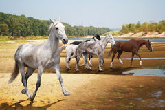 Group of horses runs to the river. A small herd of horses runs summer day to the river to drink Royalty Free Stock Images