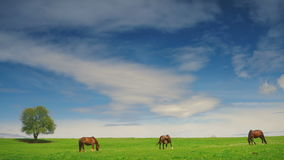 Group of horses in the summer pasture stock footage