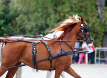 Group of horses towing a carriage Royalty Free Stock Image