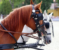 Group of horses towing a carriage summertime Stock Image