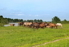 Group of  horses with young colts on green meadow Stock Image