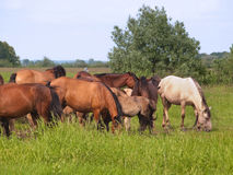 Group of  horses with young colts on green meadow Stock Photography