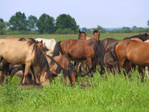 Group of  horses with young colts on green meadow Stock Photo