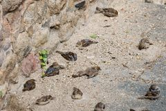 A group of house sparrows bathing in sand near a stone wall stock photo
