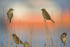 A group of House sparrows Passer domesticus perched on a reed branches in the golden morning sun.