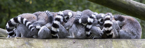 Group hug!. How many ring-tailed lemurs can be accounted for in this group hug? These animals tend to cuddle up during colder days Royalty Free Stock Image
