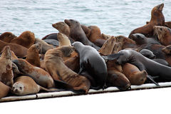 Group hug. Seals in front of the ocean with copy space Stock Photo