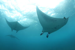 A group of huge mantas Stock Image