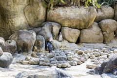 Humboldt penguin. Group of humboldt penguins in the Barcelona zoo stock image