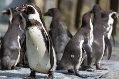 Group of Humboldt Penguins in the zoo Royalty Free Stock Photography