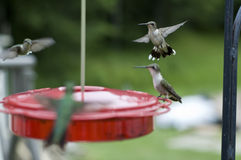 Group of Humming Birds. Beautiful Humming Birds at the feeder Royalty Free Stock Images