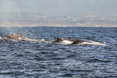 A group of humpback whales swimming in the waters of Monterey ba royalty free stock photo