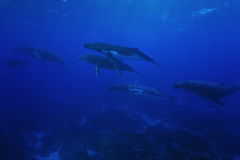 Group of humpback whales underwater Pacific ocean Stock Photos