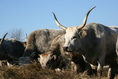 Group of Hungarian cattle Stock Images