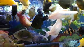 Fishes in aquarium. Group of hungry fishes in aquarium stock footage