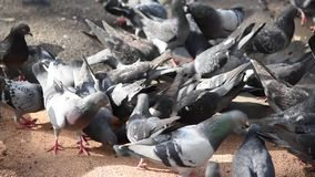 The group of hungry pigeon birds get feeding on the ground in close up. stock footage