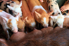 Group of hungry piglets Royalty Free Stock Image