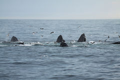 Group of humpback whales Stock Images