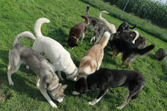 Group of huskies. During feeding Stock Images