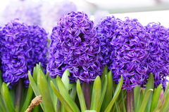 Group of hyacinth flowers Royalty Free Stock Photo