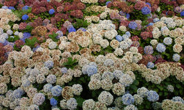Group of hydrangeas flowers. Group of hydrangea plants with beautiful colorful flowers Stock Photo