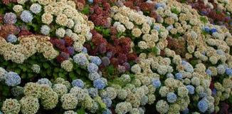 Group of hydrangeas flowers Royalty Free Stock Photo