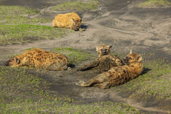 Hyenas. Herd of hyenas in the mud. Ndutu area is situated in the South-eastern part of the Serengeti ecosystem, Tanzania, Africa Stock Photography
