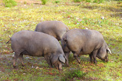 Group of Iberian pig in the meadow Royalty Free Stock Photography