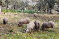 Group of Iberian pig in the meadow Royalty Free Stock Photo