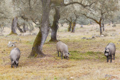 Group of Iberian pig in the meadow, Spain Stock Photography