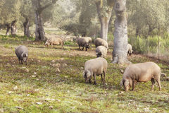Group of Iberian pig in the meadow, Spain Stock Photo