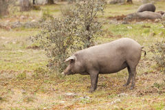 Group of Iberian pig in the meadow, Spain Royalty Free Stock Photography