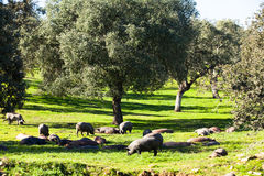 Group of iberian pigs eating and resting in the fields. Royalty Free Stock Photography