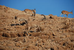 A group of ibex Royalty Free Stock Photos