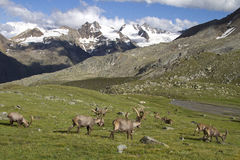 Group of ibex in the Alps Stock Photos