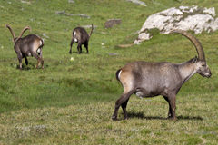 Group of ibex in the Alps. Adults in groups of ibex Royalty Free Stock Photo
