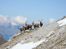 Group of ibex on a mountain slope near Klosters. And Davos in the Grisons in the Swiss Alps royalty free stock photos