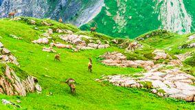Group of Ibex in the mountains by Arlberg in Austria. View on group of Ibex in the mountains by Arlberg in Austria Stock Photography