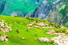 Group of Ibex in the mountains by Arlberg in Austria. View on group of Ibex in the mountains by Arlberg in Austria Royalty Free Stock Image