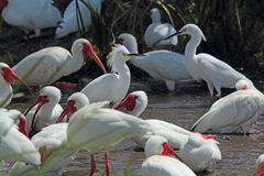 Group of ibis and egrets in a Florida wetlands. Royalty Free Stock Photos