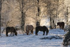 Group of Icelandic horses in ice and snow. Group of Icelandic horses grazing in the snow looking for food Royalty Free Stock Photos