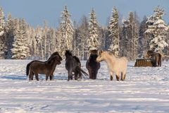 Group of Icelandic horses in snow. Group of Icelandic horses standing in a pasture in winter time. Sun is shining and the snow is deep Stock Photography