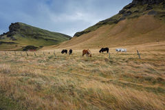A group of Icelandic Ponies in the pasture Stock Images