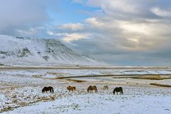 Group of Icelandic Ponies in the pasture Stock Images