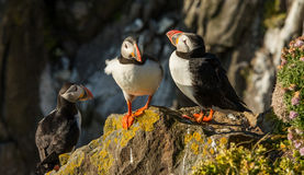 Group of icelandic puffins on rock ledge Royalty Free Stock Photos