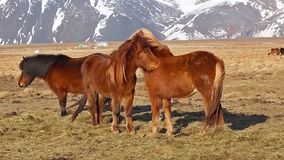 A group if icelandic horses stock video footage