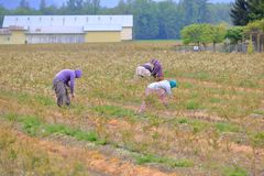 Immigrant Laborers Working in Field. A group of immigrants work in a field maintaining and taking care of a blueberry crop stock image