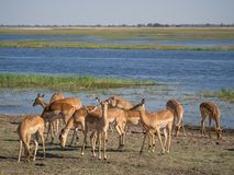 Group of impala antelopes feeding and grazing in front of Chobe River, Chobe National Park, Botswana, Africa Royalty Free Stock Photography