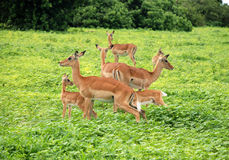 Group of Impala Antelopes in South Africa Royalty Free Stock Photo